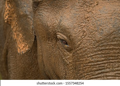 Mud bath beautiful Sri Lanka giant elephant eye for advertisement background image for a beautiful animal poster and pictures. Rain drops with sand bathed nature in national park close up shot