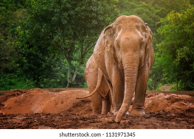 Mud and Elephants, Elephants use dirt as sunscreen