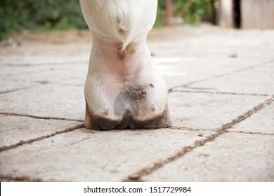 Mud fever, pastern dermatitis in lower limbs of horses leg