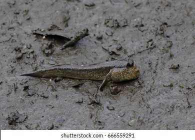 A mud skipper is an amphibious fish and is found around Singapore, including the Sungei Buloh wetland nature reserve
