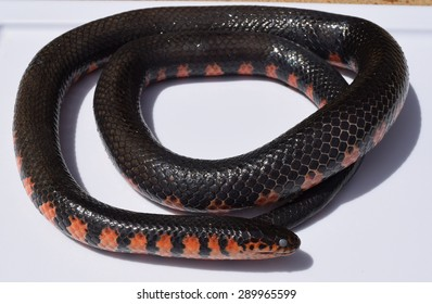 Mud snake in Mississippi