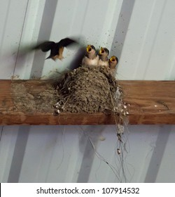Mud Swallow nest in the eaves of a garage with chicks demanding food