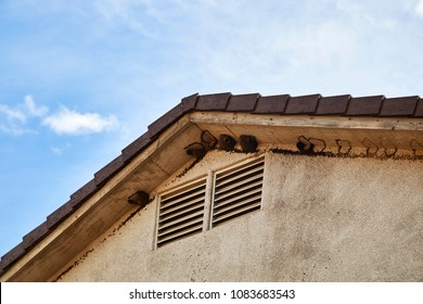 Mud Swallow's under the eaves of a two story home