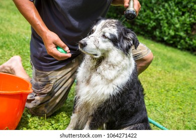 A muddy Australian shepherd dog awaiting his hose down