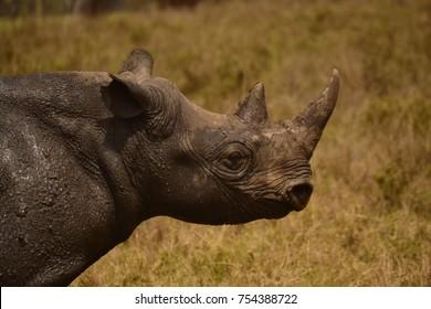 Muddy Black Rhino