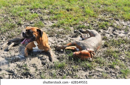Muddy Buddies - Two Dogs Rolling Around in a Mud Puddle - Bath Time