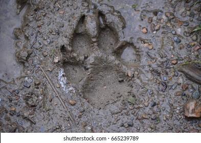 Muddy dog paw print