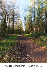 Muddy footpath curves between rows of tall fir trees on a bright sunny winters morning