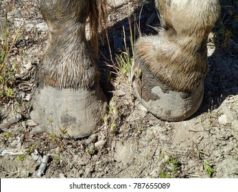 Muddy horse hooves - Yellowstone National Park