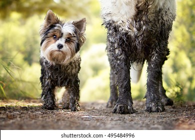 Muddy little dog stands next to a muddy big dog