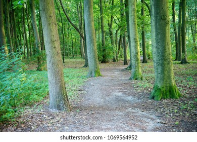 Muddy path with densely packed trees in Haagse Bos, forest in The Hague, Netherlands, Europe