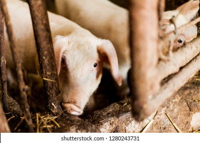 Muddy pigs in the hogpen. Food production concept in the domestic conditions. Pigglets in their boxes with hay. Village food production concept.