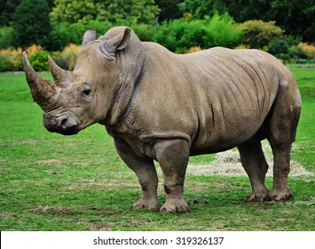Muddy rhinoceros male, standing, starring out into the field.