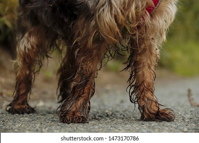 Muddy and wet legs and paws of a puppy dog