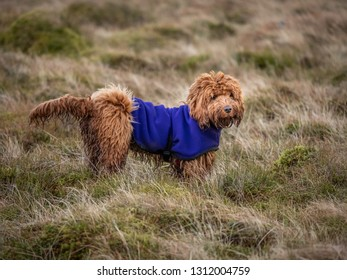 A muddy young cockapoo puppy enjoying a walk outdoors on the hillside