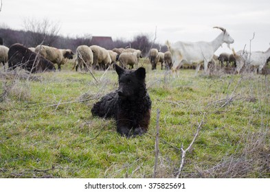 Mudi herding dog breed from Hungary with sheeps, closely related to the Puli and Pumi