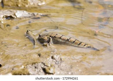 Mudskipper or Amphibious fish