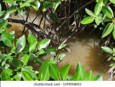 Mudskipper or Amphibious fish in the mangrove forest