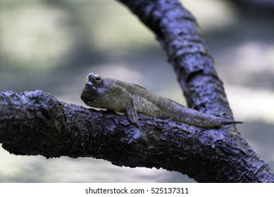 Mudskipper or amphibious fish in mangrove forest. Wildlife animal