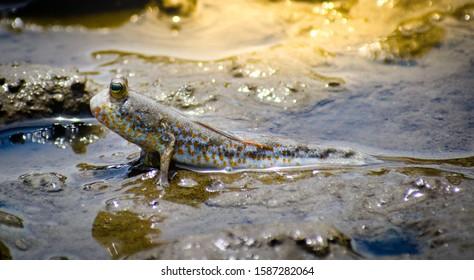 Mudskipper, Amphibious fishamphibious fish in mangrove forest Mudskipper Amphibious fish Oxudercinae in Thailand
