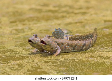 Mudskipper fish, Amphibious fish.