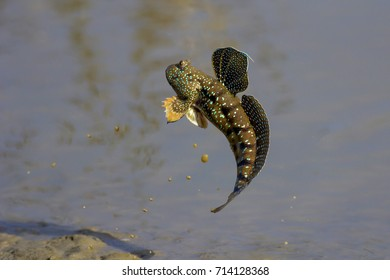 Mudskipper fish, Amphibious fish, Fish in flight.