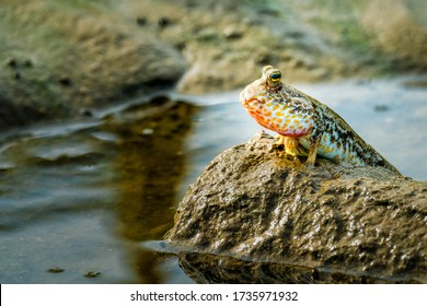 A mudskipper fish is sitting on top of a mud-hill in the evening light.