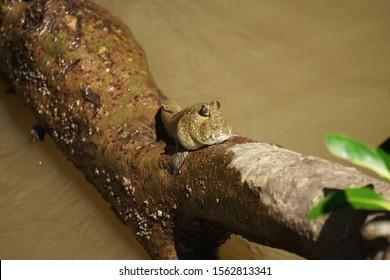 Mudskipper in the mangrove forest at Bang Pu, Samut Prakan Province, Thailand