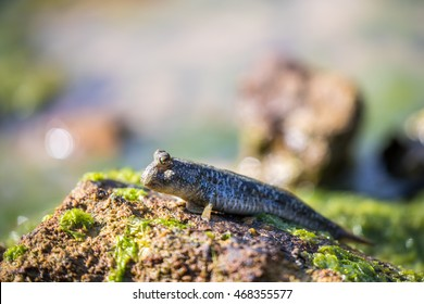 Mudskipper perching on rock with blur, bokeh and green background