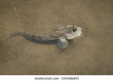 Mudskipper (periophthalmus chrysospilos) in water, is native to coastal mangrove wood.