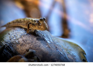 A mudskipper whatching over its territory from the top of a coconut. This fish lives in the mangrove forests all over the tropical coasts.