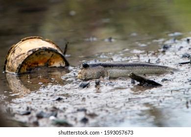 Mudskippers are amphibious fish, presently included in the family Oxudercidae, in the subfamily Oxudercinae. Selangor, Malaysia.