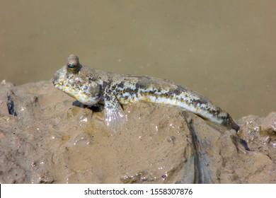 Mudskippers in the wild habitats