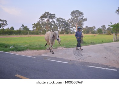 """Mueang Roi-Et, Roi-Et / Thailand - May 17, 2019 : A farmer is walking home in the afternoon while pulling his white cow along the road where green meadow behind is surrounded by trees under blue sky"