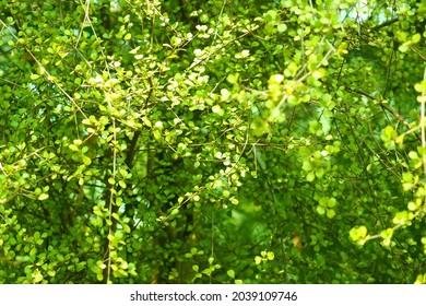 Muehlenbeckia axilliaris or maidenhair vine or creeping wire vine ornamental green plant