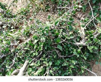 Muehlenbeckia complex plant, wire vine plant