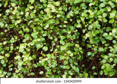 Muehlenbeckia complexa creeping wirevine green plant background