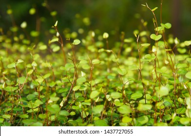 Muehlenbeckia complexa maiden hair climber green plant