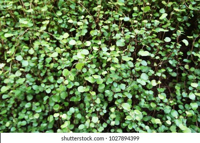 Muehlenbeckia complexa or maidenhair vine or creeping wire vine ornamental green plant