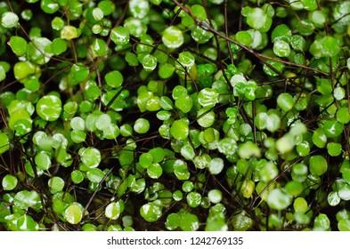 Muehlenbeckia complexa. Maidenhair vine, creeping wire vine, necklace vine. (nature background)
