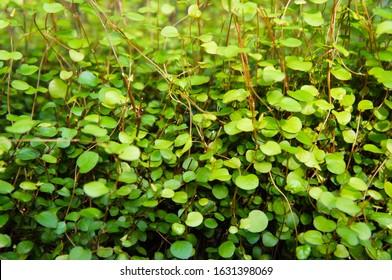 Muehlenbeckia complexa maidenhair vine green plant background