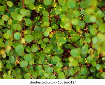 muehlenbeckia green leaves close up, called Wireplants in Japan