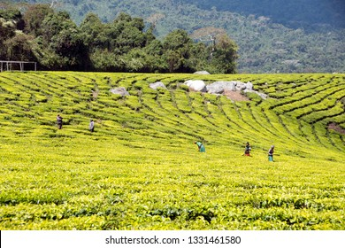 Mufindi highlands, Tanzania - August 10 2018: workers cutting tea leaves in tea plantation in Iringa region in Southern Tanzania.