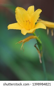 Mug shot of bright lemon yellow open flower of daylily with buds against green plants background