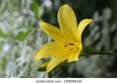 A mug shot of bright lemon yellow flower of daylily with brown stamens and little beetle on it against green with white leaves of dogwood