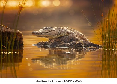 Mugger crocodile (Crocodylus palustris), also called marsh crocodile, broad-snouted crocodile and mugger is a crocodilian native to freshwater habitats from southern Iran to the Indian subcontinent.