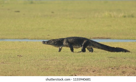 """mugger crocodile (Crocodylus palustris = """"crocodile of the marsh""""), also called the Indian, Indus, Persian, Sindhu, marsh crocodile or simply mugger, is found throughout the Indian subcontinent."""