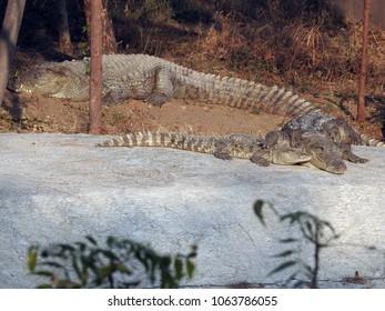 Mugger crocodile - Sajjangarh Biological Park, Udaipur, Rajasthan, India