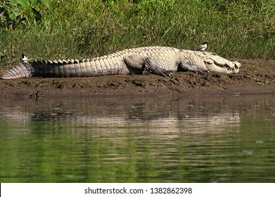 Mugger or Marsh crocodile sun bathing next to the water at Chitwan National park in Nepal