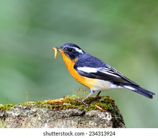 Mugimaki Flycatcher, the little yellow and black bird standing on the mossy rock with carrying worm in its bills